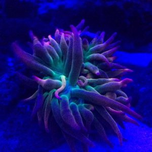 Bubbletip Anemone